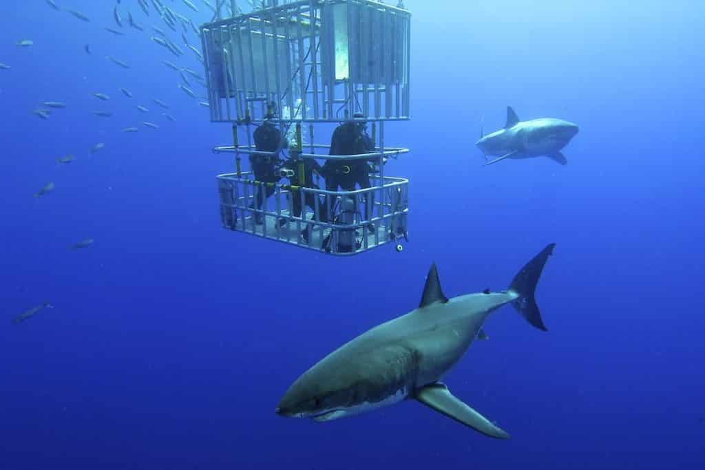 Diving with sharks as a gift